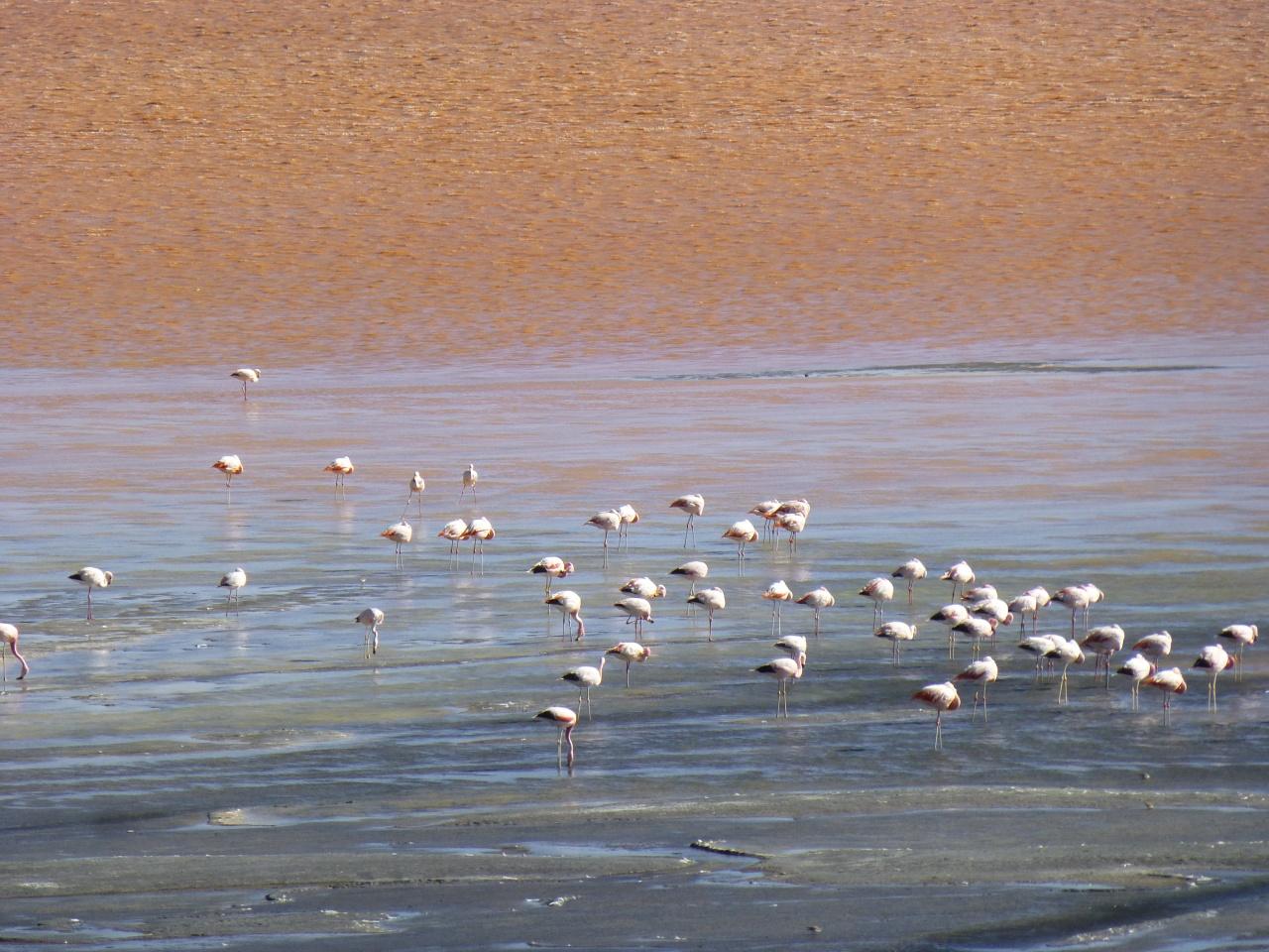 Flamingos, lamas, panfluiten enhoogteziekte