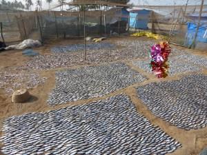 De vangst ligt te drogen in Benaulim