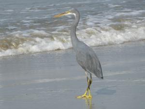 En de Westelijke Rifreiger. die stond maar voor zich uit te staren. Ik bood hem een biertje aan. Hij weigerde. Rare vogel.